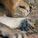 022_ML.0733V-African-Lion-Male-paws-Luangwa-Valley-Zambia-