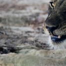 023_ML.0737-African-Lion-Female-Eyes-Luangwa-Valley-Zambia