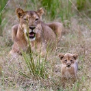 024_ML.1057-Lioness-&-newborn-cub-Luangwa-Valley-Zambia