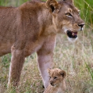 025_ML.1067V-Lioness-&-newborn-cub-Luangwa-Valley-Zambia
