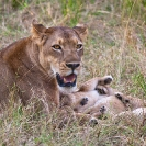 026_ML.1077-Lioness-&-newborn-cubs-Luangwa-Valley-Zambia