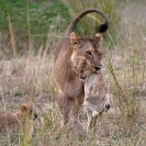 027_ML.1091-Lioness-carrying-newborn-cub-Luangwa-Valley-Zambia-