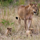 028_ML.1102-Lioness-&-newborn-cubs-Luangwa-Valley-Zambia