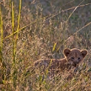 029_ML.1072-Lion-cub-newborn-Luangwa-Valley-Zambia