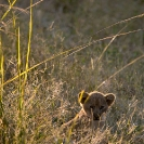 030_ML.1070V-Lion-cub-newborn-Luangwa-Valley-Zambia-