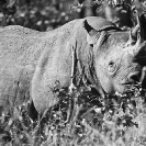 003_MR.501BW--EXTINCT-Luangwa-Valley-Black-Rhino-population