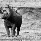 004_MR.502BWA--EXTINCT-Luangwa-Valley-Black-Rhino