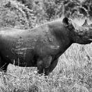 005_MR.503BW-EXTINCT-Luangwa-Valley-Black-Rhino