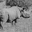 006_MR.BW.043.24-EXTINCT-Luangwa-Valley-Black-Rhino