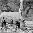 009_MR.BW.049-20A-EXTINCT-Luangwa-Valley-Black-Rhino