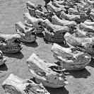 014_Po.36VBW-EXTINCTBlack-Rhino-Skulls-Luangwa-Valley-Zambia-