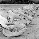 018_Po.BW.0082-35-EXTINCT-Black-Rhino-Skulls-Luangwa-Valley-Zambia