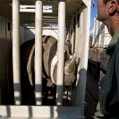 028_Po.2353-Black-Rhino-in-Blindfold-&-Vet-Translocation