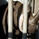 029_Po.2354-Black-Rhino-in-Blindfold-Translocation