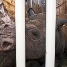 030_Po.2413-Black-Rhino-in-a-Box-Translocation