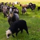 011_AgLSh.2394-Helsingland-Sheep-Sweden