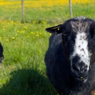 012_AgLSh.2416-Helsingland-Sheep-Sweden