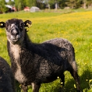 013_AgLSh.2447-Helsingland-Sheep-Sweden