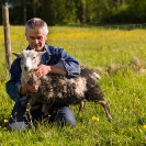 014_PSe.2433-Evert-Larsson-&-his-Helsingland-Sheep-Sweden