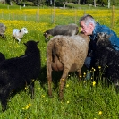 016_PSe.2451-Evert-Larsson-&-his-Helsingland-Sheep-Sweden